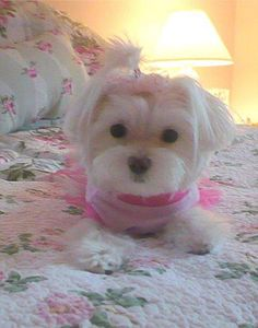 Love the pink on the girl Maltese !!!
