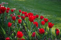 Red tulips and green grass - A beautiful contrast of red and green colors, shot in Paris floral park (Paris, France)