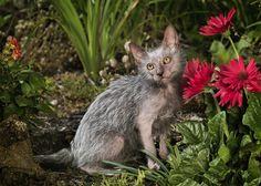 Lykoi это новая порода кошек, которая уже получила всемирное признание из-за своего невероятного внешнего вида - представители этой породы похожи на оборотней. http://tanjand.livejournal.com/1554657.html
