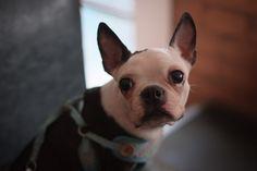 My friend's boston terrier. Tokyo, Japan.   by lala_turbo_nitro