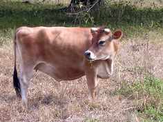 All About Miniature Jersey Cows