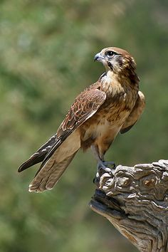 I want to be a falconer when I grow up