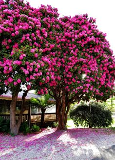 Pink Rhododendron tree at Marysville Beautiful Roses, Beautiful Gardens, Beautiful Places, Unique Trees, Colorful Trees, Nature Tree, Flowers Nature, Garden Trees, Trees To Plant
