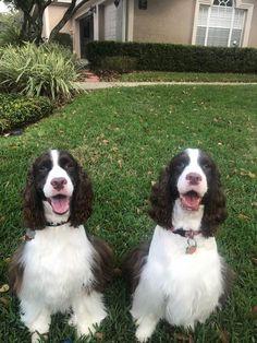 Image result for 犬 English Springer Spaniel 子供たちと
