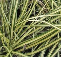 150 stuck prunus herbergii heckenpflanze immergr n und. Black Bedroom Furniture Sets. Home Design Ideas