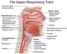 """: """" Obligatory Anatomy Diagram of the Day: Upper Respiratory Tract [x] """""""