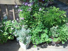 A variety of Scented Geraniums Herb Garden, Garden Plants, Indoor Plants, Indoor Outdoor, Scented Geranium, Verbena, Geraniums, Trees To Plant, Herbalism