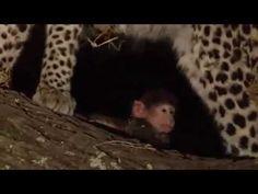 Leopardo mata mãe babuíno e cuida de filhote órfão - YouTube
