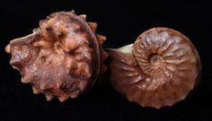 アンモナイト AMMONITE スクロエンバキア Schloenbachia varians 直径80mm カザフスタン・マンギシュラック kazakhstan mangyshlak