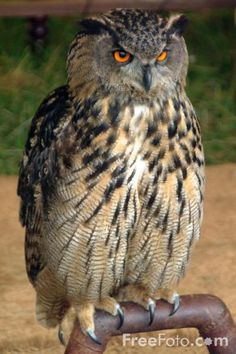 EAGLE OWL | Eagle Owl pictures, free use image, 01-01-61 by FreeFoto.com
