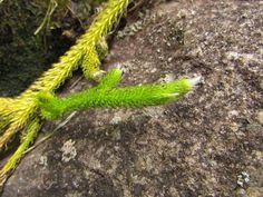 Lycopodium clavatum (Musgão).