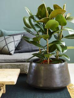 Gummiplante er en svært lettstelt grønn plante.