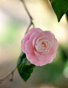Camellias- I had no idea that this lovely flower existed. Love it!