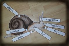 Legematerial zum Körpberbau       Schnecken - Körperteile (Legematerial)   ________________________________________________________________...