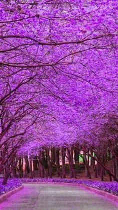 Jacaranda trees in Pretoria, South Africa - Holiday$pots4u