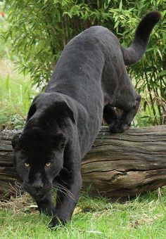 .Black Panthers have always been my favorite wild cat because they are sleek and sneaky and just plain beautiful.