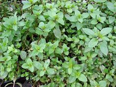 Mentha x piperita (Peppermint) Jewel Weed, Sweet Potato Leaves, Poisonous Plants, Peppermint Leaves, Hardy Plants, Medicinal Plants, Herbal Remedies, Raw Food Recipes, Perennials