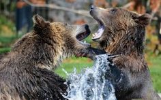 Grizzly Bears Having Fun in the Water