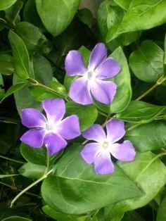 """Une superbe couleur parme, pour ces fleurs de """"Pervenche""""...."""