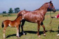 Morgan Colors- Sabino Morgan Horses