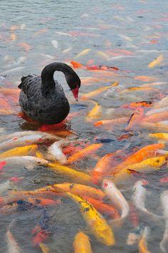 Black swan on a koi pond.