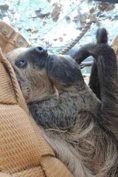 The Honolulu Zoo recently celebrated their first newborn Linnaeus's Two-Toed Sloth! The new baby was born April 21st, to mom 'Harriet'. Mother and baby are doing well, and they are both on exhibit. Check out ZooBorns to learn more and see more! http://www.zooborns.com/zooborns/2015/05/honolulu-zoo-welcomes-first-newborn-sloth.html
