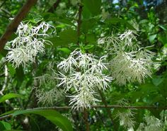 Natives & Fragrant Bloomers That Work Well in the Florida Garden