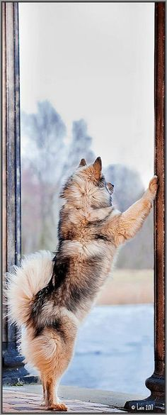 WAITING FOR GIRL-FRIEND ;-))))  ☀  beautiful EURASIER DOG #animal pet cute         #photo by Lain-AwakeAtNight on DeviantArt