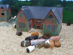 Guinea pigs.  In their summer home in the English countryside.  Of course.