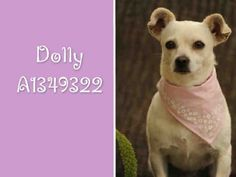 CALIFORNIA ~ URGENT ~ meet Dolly ! My name is Dolly and I am an unaltered female, white Chihuahua -   The shelter thinks I am about 2 years and 2 months old & I weigh approximately 12lbs. I have been at the shelter since Oct 07, 2012 ~~~ & I all I want from Santa is a loving fur-ever home ~ I'm at Harbor Animal Care & Control Center ~ & you can call them at (888) 452-7381 if you want to #adopt me ask for information about animal ID number A1349322 www.PetHarbor.com pet:LACT1.A1349322