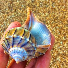 Beach treasure #sanibelstar -#island #seashell