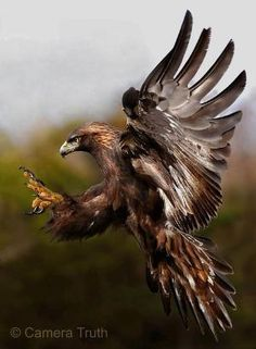 Golden eagles use their speed and sharp talons to snatch up rabbits, marmots, and ground squirrels. They also eat carrion, reptiles, birds, fish, and smaller fare such as large insects. They have even been known to attack full grown deer. by CarolinaBarbosa