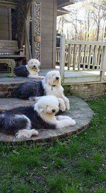 Can you imagine anything better than 3 OES lying in front of the house? English Sheepdog Puppy, English Dogs, Baby Animals, Funny Animals, Cute Animals, Beautiful Dogs, Animals Beautiful, Sheep Dogs, Raining Cats And Dogs