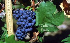 Cabernet Sauvignon's father, and the secret to great Bordeaux.