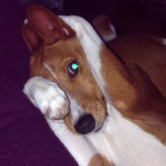 Tia, our youngest basenji.. Such a sweetheart!
