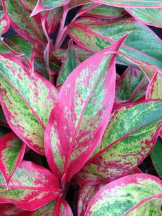 "Aglaonema ""Firecracker"" - for windowless office air purification & decor"