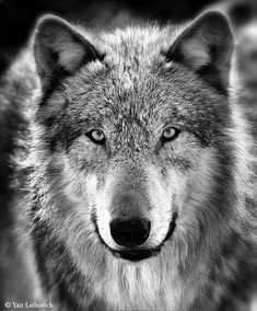 gray wolf bw by Yair-Leibovich.deviantart.com on @deviantART