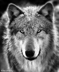 gray wolf bw by Yair-Leibovich.deviantart.com