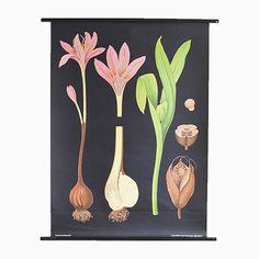 Vintage Herbstzeitlose Lehrtafel von Jung, Koch & Quentell für Hageman... Jetzt bestellen unter: https://moebel.ladendirekt.de/dekoration/wandtattoos/wanddekoration/?uid=9177e428-cf9f-5615-8f6a-c772cb5d77f9&utm_source=pinterest&utm_medium=pin&utm_campaign=boards #tattoos #dekoration