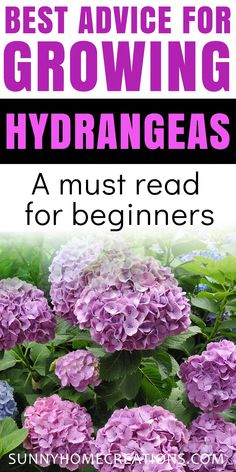 Best advice for growing hydrangeas.  Perfect if you are a beginner gardener.  These flowers are beautiful in bloom and can be easy to take care of.