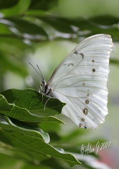 A moth is dressed for its wedding day :) ~~Morpho Polyphemus (White Morpho) Butterfly by Morpho Butterfly, White Butterfly, Butterfly Flowers, Beautiful Butterflies, Butterfly Place, Butterfly House, Butterfly Pictures, Butterfly Kisses, Butterfly Wings