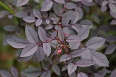 Rosa glauca leaves