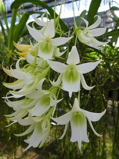 Sobennikoffia humbertiana. Orchidaceae: Angraecinae. By Janyaporn Thawornsatitsakul. [x]