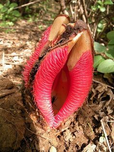 Looks like a vagina plant to me! LOL Hydnora africana - A succulent plant native to southern Africa