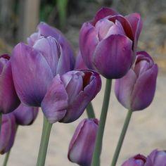 Tulipa 'Je Maintendrai'