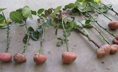 Cuttings of roses in potatoes. part Rose Cuttings in potatoes. Part 1 Cuttings of rose Veg Garden, Edible Garden, Garden Plants, Roses In Potatoes, Grow Potatoes In Container, Rose Cuttings, Tomato Seedlings, Natural Farming, Compost