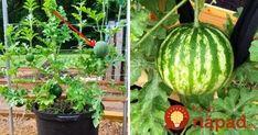 Perfektný tip, ako dopestovať obľúbené letné ovocie na malom priestore – v obyčajných kvetináčoch, pokojne aj na balkóne či terase. Watermelon, Pergola, Pumpkin, Gardening, Vegetables, Fruit, Plants, Outdoor, Balcony