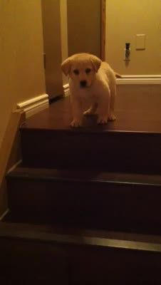 LiveLeak.com - Daisy the Puppy Can't Quite Figure Out Stairs - Simon Shows Her How