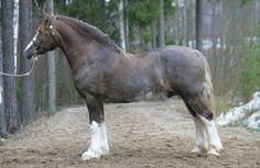 Welsh Cob stallion Cathael Idris 13 WD