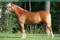 Finnhorse - gelding Elovalo